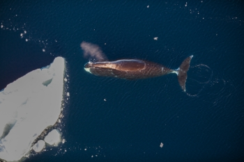 Bowhead whale seen during a counting cruise in 2015 with R/V Lance. Photo: Norwegian Polar Institute